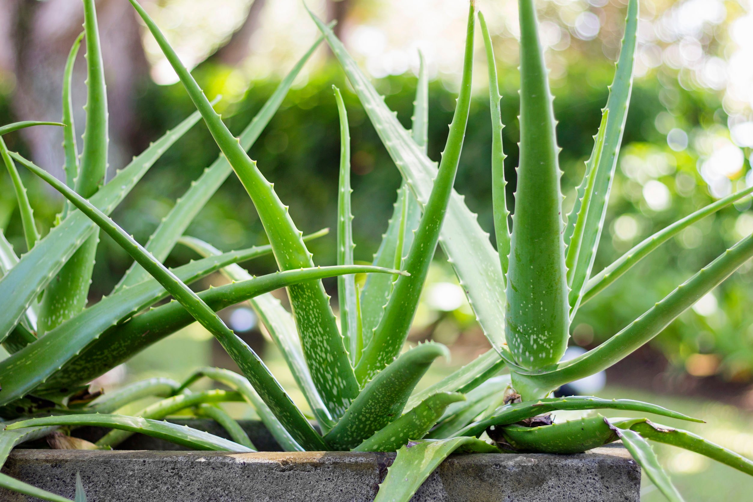 Benefits of Aloe Vera | Beverly Hills MD