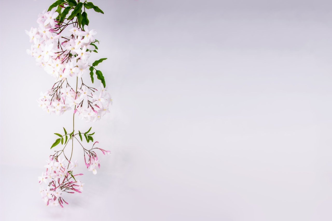 jasmine flowers | Beverly Hills MD